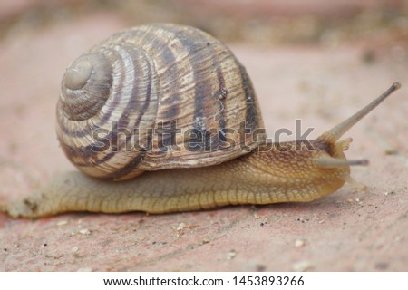 Snail crawling on the tiles in the street.Image of Helix pomatia (Burgundy, Roman, edible, Weinbergschnecke, escargot).Picture of a snail close up.Gastropod.Macro mode.Side view,photo.