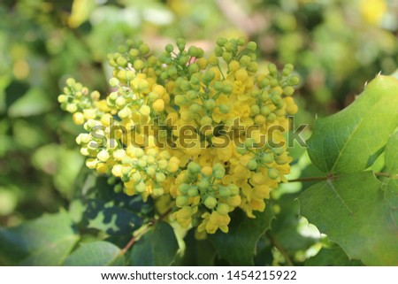 Close up of an isolated blooming oregon grape (mahonia aquifolium) on a blur background. #1454215922