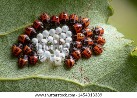 Just hatched stink bugs (Halyomorpha halys) are seen clustered around their empty egg shells on a green leaf. Invasive pests in the garden.