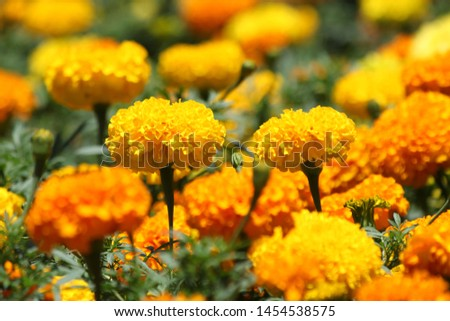 Beautiful yellow orange marigolds bloom in the garden during the spring. #1454538575