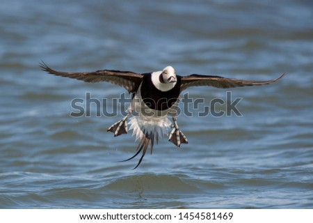 A Long-tailed Duck flares its feet and tail as it comes in to land in the blue water on a bright sunny day. #1454581469