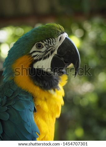 Yellow tailed macaw birds that live in Ireland are shown in Asia,Thailand. #1454707301