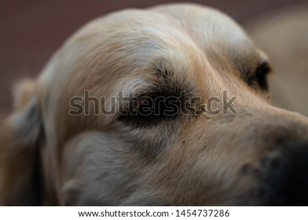 portrait of golden retriever head #1454737286