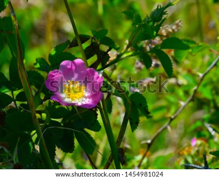 Single Pink Wild Rose with Green background #1454981024
