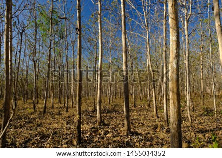 Teak forest in the dry season and blue sky. In the dry season teak forests become molt and abort their leaves. This picture is suitable for background and wallpaper. Nature photography.  #1455034352