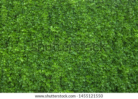 Ivy texture. Ivy hedge background. Ivyberry backdrop. Ivy wallpaper. Ivyberry backround image. Ivy wall. Green wall. Green plant texture. Green leaves background. Myrtle green background #1455121550