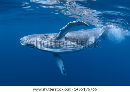 A Baby Humpback Whale Plays Near the Surface in Blue Water Royalty-Free Stock Photo #1455196766