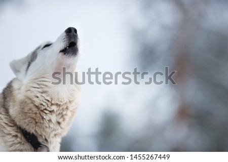 Portrait of a Wolfdog howling. Focus on nose tip.