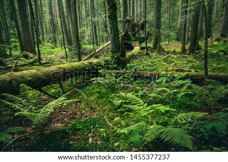 Dark green rainforest with broken trees roots and moss on Mitrovac Tara national park in Serbia. #1455377237