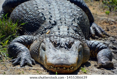 An alligator is a crocodilian in the genus Alligator of the family Alligatoridae. The two living species are the American alligator ( mississippiensis) and the Chinese alligator ( sinensis). #1455386639