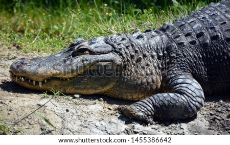 An alligator is a crocodilian in the genus Alligator of the family Alligatoridae. The two living species are the American alligator ( mississippiensis) and the Chinese alligator ( sinensis). #1455386642