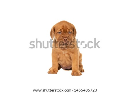 Cute puppy French breed dogue de Bordeaux sitting isolated on a white background with copy space #1455485720