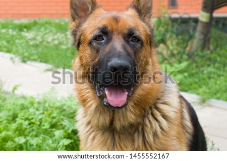 German shepherd walking resting in the Park on the grass on a summer day #1455552167