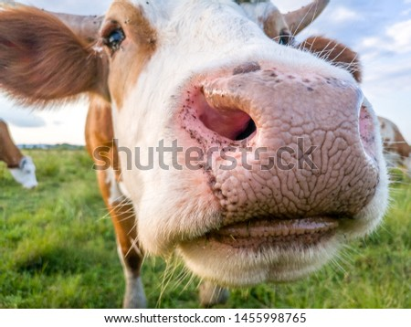 Curious cow on the pasture #1455998765