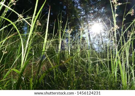Close-up green young fresh grass on a forest glade against sunlight. Sunlight shines through blades of grass - near Klippitztörl mountain pass, Austrian Alps, Federal State Carinthia, Europe #1456124231