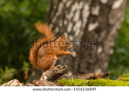 A Nut eating squirrel in the forest