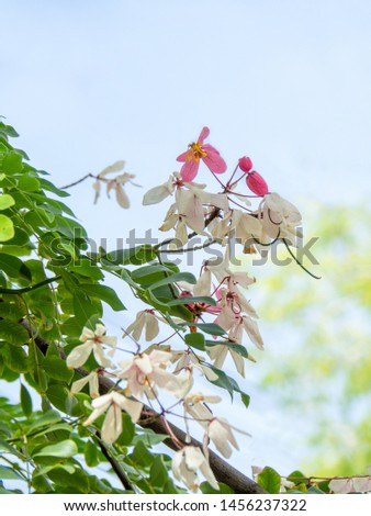 Flowers of Cassia bakeriana or common name Horse Cassia , Pink Cassia , Pink Shower or Wishing Tree. Flowering plants in the legume family usually found in every part of Thailand. #1456237322