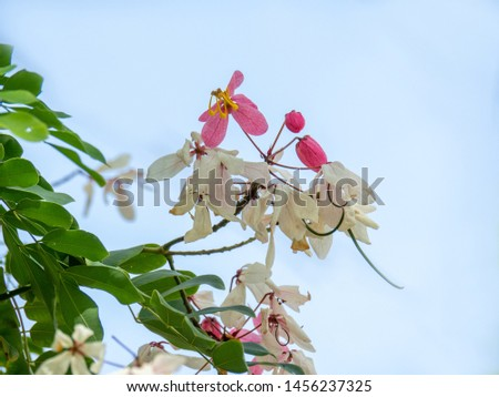 Flowers of Cassia bakeriana or common name Horse Cassia , Pink Cassia , Pink Shower or Wishing Tree. Flowering plants in the legume family usually found in every part of Thailand. #1456237325