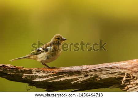 common chaffinch (Fringilla coelebs) on old trunk #1456464713