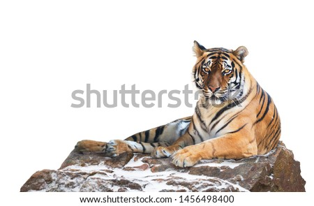 Siberian tiger isolated on white   (Panthera tigris altaica) #1456498400