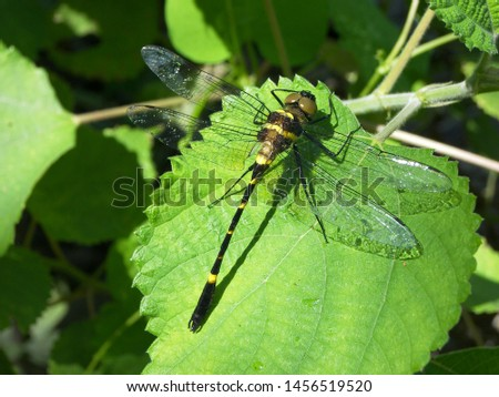 Zoological image of dragonfly showing wings body. The dragonfly is a insect. #1456519520