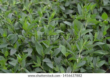Annual plant. Green. Knotweed bird, Polygonum aviculare #1456637882