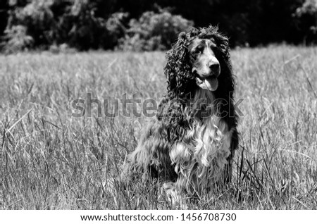 Pure breed dog in black and white #1456708730
