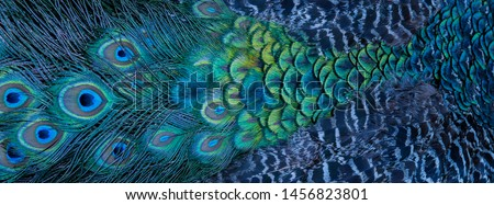 Blue peacock feathers in closeup  #1456823801