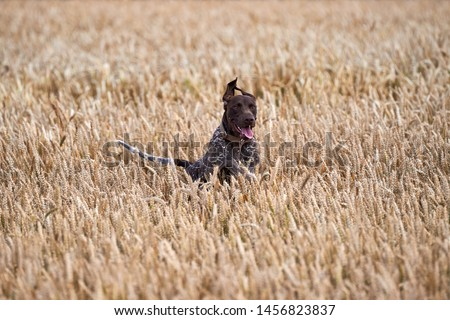 Hunting dog running out of the field.Hunting dog kurthar.Hunting dog catches the birds. #1456823837
