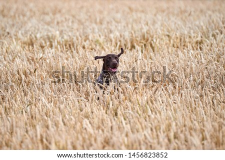 Hunting dog running out of the field.Hunting dog kurthar.Hunting dog catches the birds. #1456823852