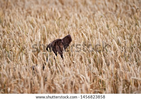 Hunting dog running out of the field.Hunting dog kurthar.Hunting dog catches the birds. #1456823858
