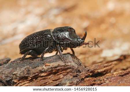 Small rhinoceros stag beetle. A rare insect species dwelling mostly in beech dead wood. A portrait of the male with a large horn on its head. #1456928015