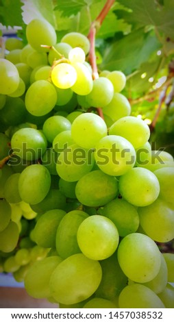 Pickling of beautiful grapes yellow color #1457038532