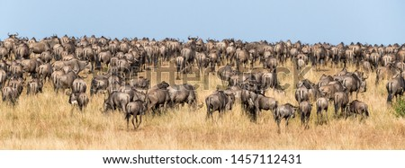 Following the wildebeest herds during the annual Great Migration in the Masai Mara, Kenya. Social Media banner format. #1457112431