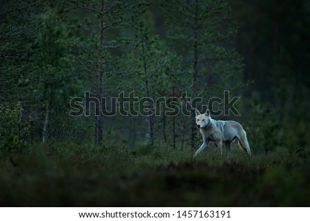 Wolf from Finland. Gray wolf, Canis lupus, in the spring light, in the forest with green leaves. Wolf in the nature habitat. Wild animal in the Finland taiga. Wildlife nature, Europe. Night forest. #1457163191