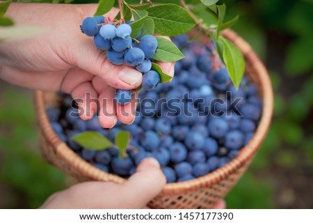 Blueberries picking. Female hand gathering blueberries. Harvesting concept. #1457177390