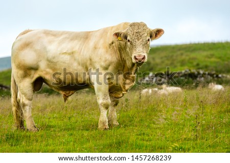Bull, large Charolais bull stood magestically in lush summer meadow in Yorkshire Dales, England, UK.  The bull has a ring through his nose.  Landscape, horizontal.  Space for copy. #1457268239