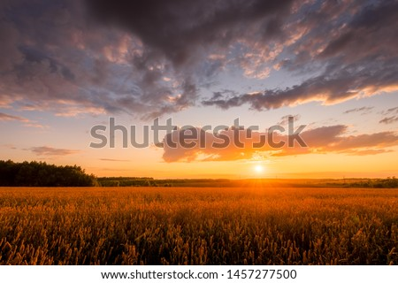 Scene of sunset on the field with young rye or wheat in the summer with a cloudy sky background. Landscape. #1457277500