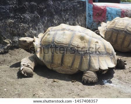 A Tortoise-Shell Turtle #1457408357