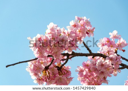 Kawazu cherry blossoms of old Nakagawa river Hirai, Edogawa city, Tokyo, Japan #1457429840
