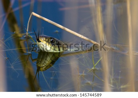 The grass snake (Natrix natrix), sometimes called the ringed snake or water snake Royalty-Free Stock Photo #145744589