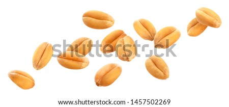 Falling wheat grains isolated on white background with clipping path, close-up Royalty-Free Stock Photo #1457502269