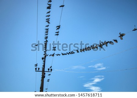 Unusual picture of Rock pigeons (Columba livia) sitting on wire of power line. These pigeons are originally mountain bird and their paws are not adapted to cover wire, but more wild sometimes