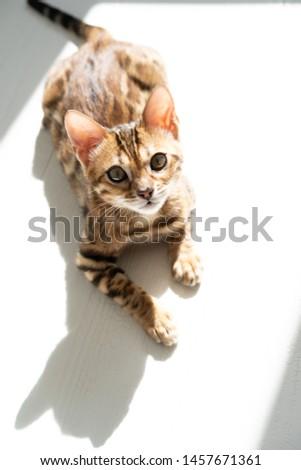 Bengal cat, kitten on white #1457671361