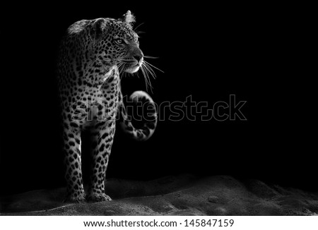 Black and white image of a leopard staring #145847159