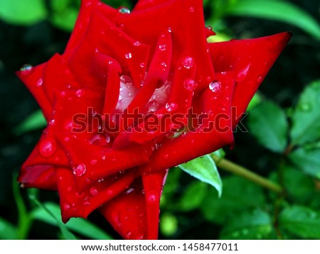 dew drops on a red blooming rose in the early cool morning #1458477011