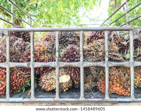Palm fruits of the gardeners after harvesting on the truck #1458489605