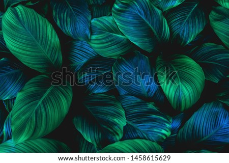 leaves of Spathiphyllum cannifolium, abstract green texture, nature background, tropical leaf #1458615629