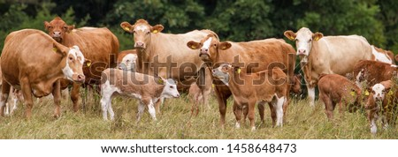 Panoramic view of a herd of brown milk cows with calves in Western Europe on a meadow close to a forest in idyllic atmosphere #1458648473