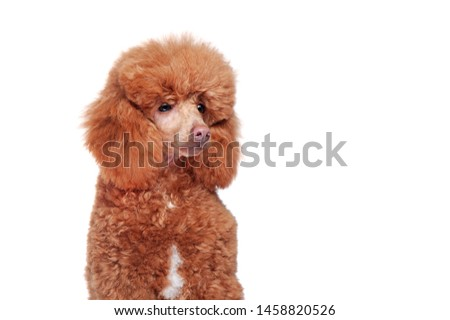 Portrait of a pretty brown poodle looking to the side close-up picture